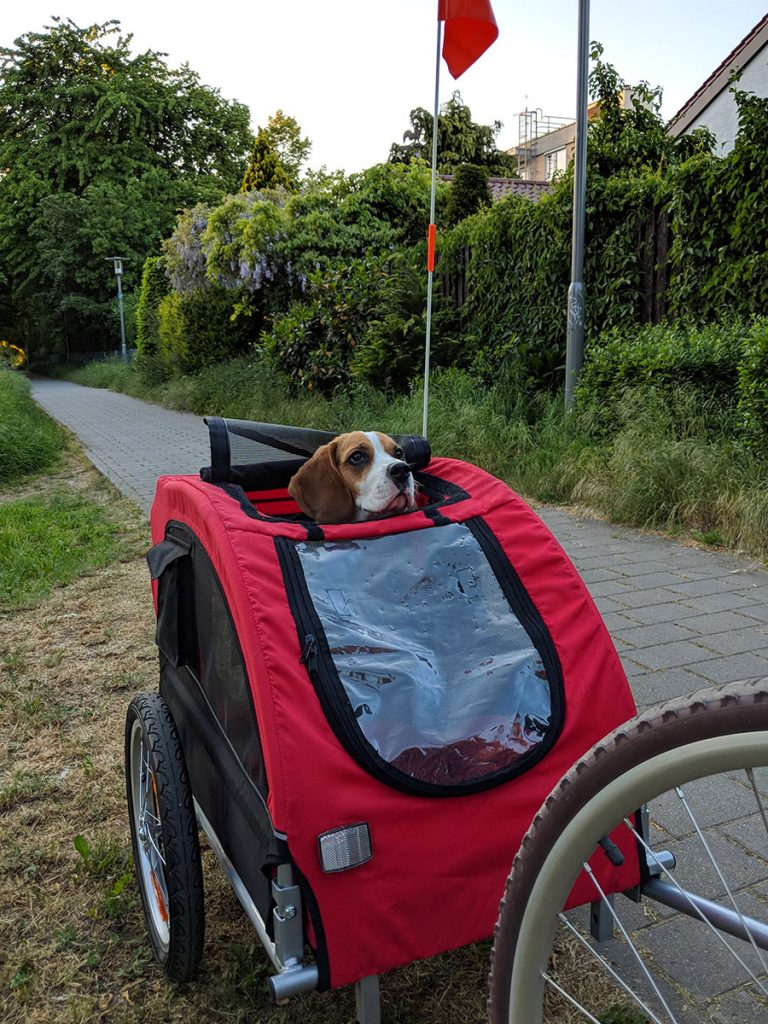 beagle in a dog bike trailer